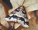 Mottled Umber (photo by Roy Leverton)