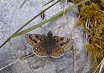 Dingy Skipper at Assich Forest (Photo by S Gyseman)