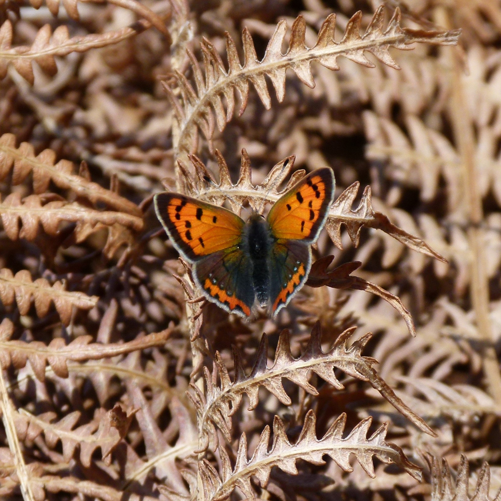 Small Copper Hilary Swift