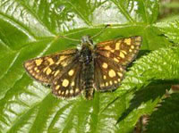 Chequered Skipper (photo by Elliott Staley)