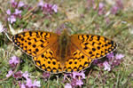 Dark Green Fritillary with typical wing pattern (T Mainwood)