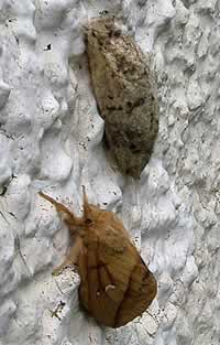 Drinker moth at Durness (photo by Mike Fitch)
