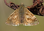 Dingy Skipper (copyright ebirder)