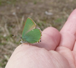 Green Hairstreak at Culbin, 2010 (photo by B Brodie)