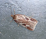 Acleris hyemana (photo by John Kemp)