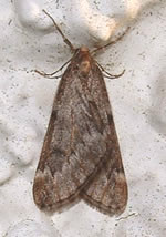 March Moth (photo by Brian Neath)