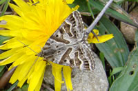 Mother Shipton moth (photo by Jane Bowman)