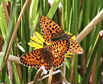 Small Pearl-bordered and Pearl-bordered Fritillaries (T Mainwood)