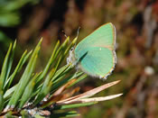 Green Hairstreak (photo by Audrey Turner)