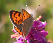 Small Copper butterfly (photo by Tony Mainwood)